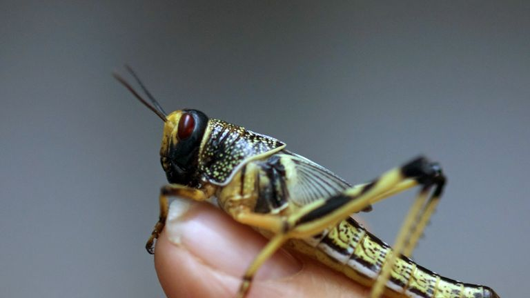 Locusts can form massive swarms eating everything in their path