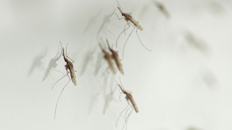 Mosquitoes, which can transmit malaria