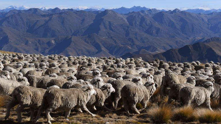With the Southern Alps in the background, a photo taken on 21 April, 2017, shows a flock of merino sheep driven 15 kilometres up and over Old Man Peak
