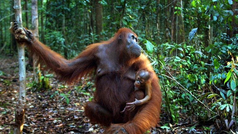 There are orangutan reserves on Borneo but people are still hunting them