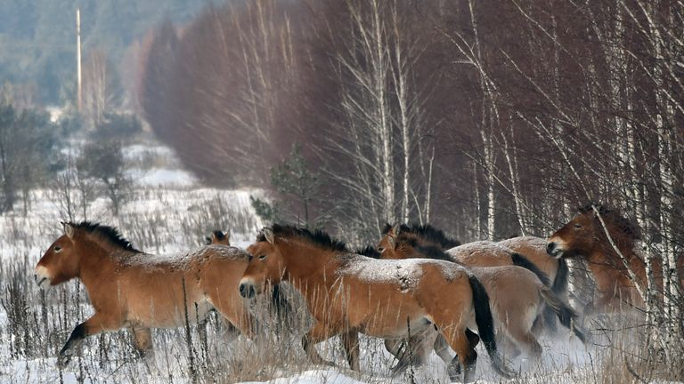 Wild Przewalski's horses near Chernobyl, where they were introduced into an exclusion zone in 1990
