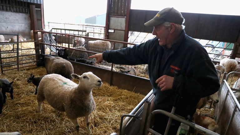Farmer Dai Brute points out a ewe that is almost ready to give birth in the lambing shed on Gwndwnwal Farm during lambing season