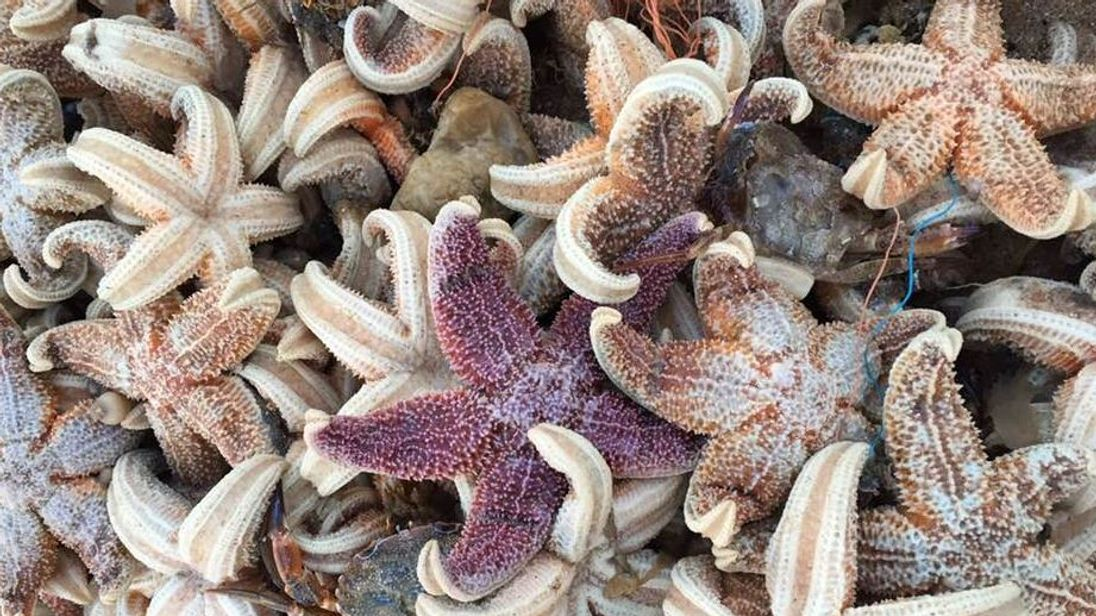 The starfish washed up after the big freeze. Pic: Frank Leppard