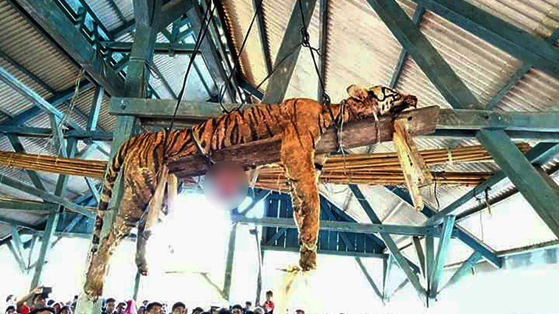 The carcass of a Sumatran tiger hung