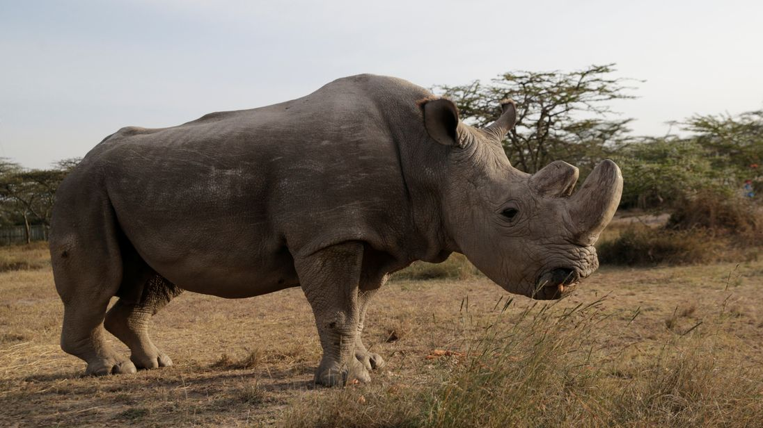 The last surviving male northern white rhino named 'Sudan' is seen at the Ol Pejeta Conservancy in Laikipia, Kenya June 18, 2017. REUTERS/Thomas Mukoya