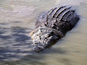 Residents are warned receding floodwaters may bring crocodiles to towns. Pic: Queensland Environment Department