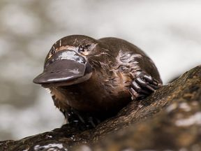 Platypus milk could save lives.. Pic: Laura Romin and Larry Dalton.