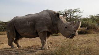 The last surviving male northern white rhino named 'Sudan' is seen at the Ol Pejeta Conservancy in Laikipia, Kenya June 18, 2017. REUTERS/Thomas Mukoya