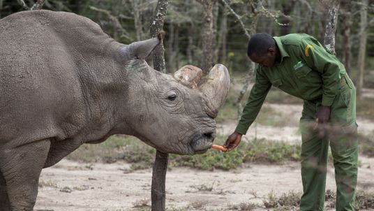 The rhino, called 'Sudan', was suffering from 'age-related complications'. File pic