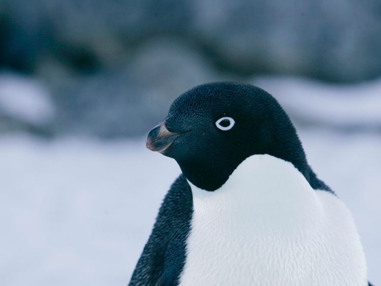 An Adelie penguin is pictured at Cape Denison, Commonwealth Bay, East Antarctica in this December 16, 2009 file photo