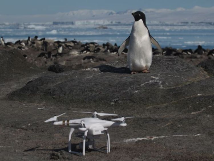 "Danger Islands Expedition Image (4): ""An Adélie penguin and Quadcopter on Brash Island, Danger Islands, Antarctica"" Pic: Stony Brook University"