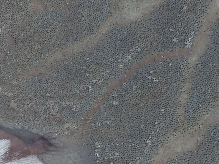 """Danger Islands Expedition Image (1): """"Quadcopter aerial imagery of an Adélie penguin breeding colony on Heroina Island, Danger Islands, Antarctica"""" Pic: Woods Hole Oceanographic Institution"""