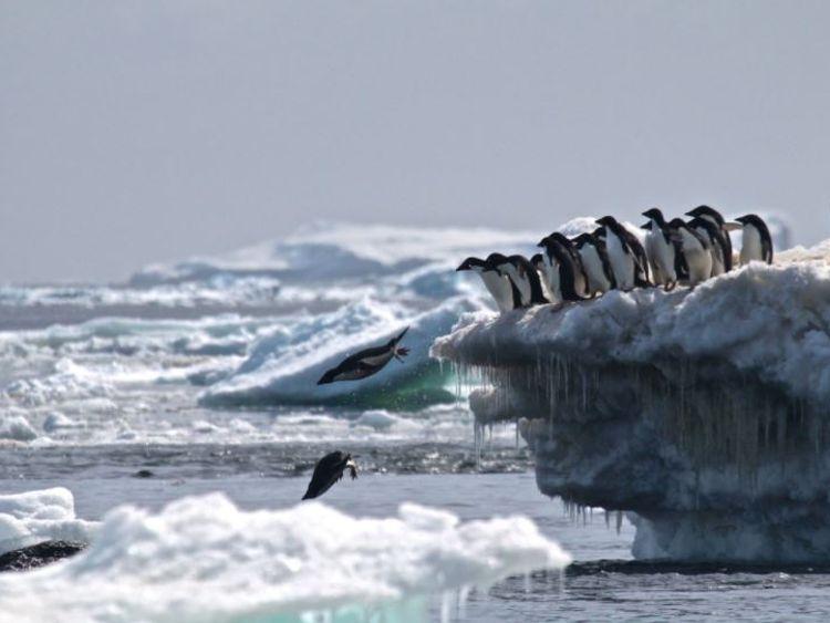 "Danger Islands Expedition Image (8): ""Adélie penguins jumping of iceberg, Danger Islands, Antarctica"" Credit: Rachael Herman, Louisiana State University, © Stony Brook University"