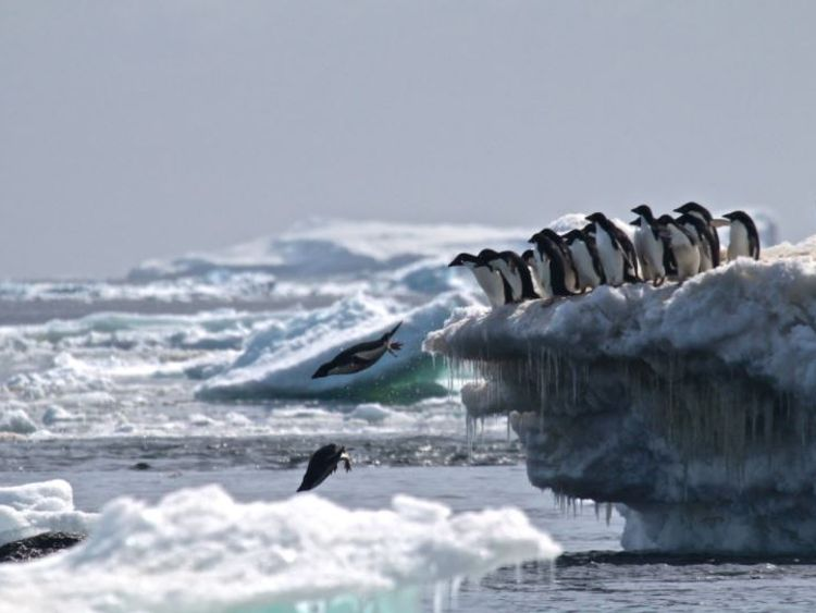"Danger Islands Expedition Image (8): ""Adélie penguins jumping of iceberg, Danger Islands, Antarctica"" Credit: Rachael Herman, Louisiana State University, © Stony Brook University"