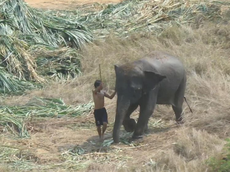 A man is filmed beating an elephant with a bullstick