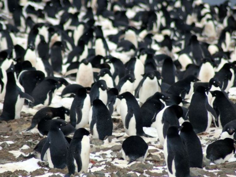 "Danger Islands Expedition Image (9): ""Nesting Adélie penguins, Danger Islands, Antarctica"" Pic: Michael Polito, © Louisiana State University"