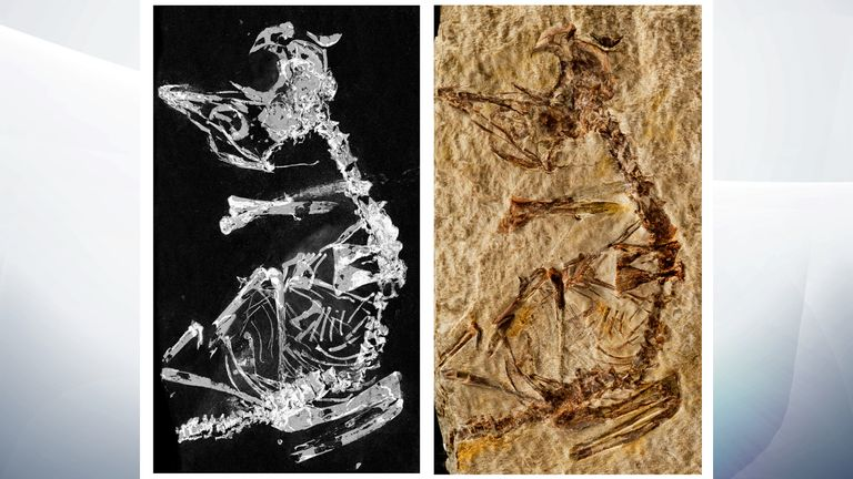Phosphorous mapping image and photo of fossil. Pic: Dr. Fabien Knoll