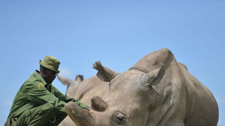 Care giver Peter crouches next to Najin, the older of only two remaining female northern white rhinoceros subspecies