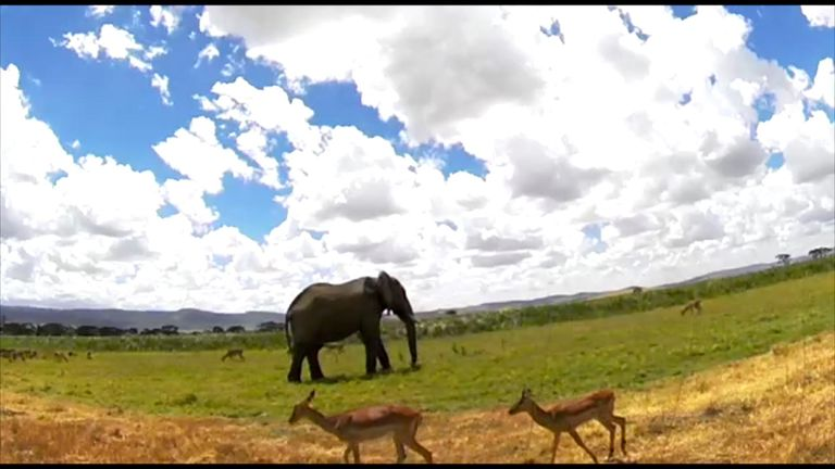 Google has teamed up with researchers from the Zoological Society of London to help detect poachers and recognise animals through artificial intelligence. SWIPE