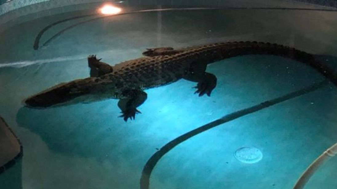 Alligator Takes A Swim In Couple 39 S Indoor Pool In Florida