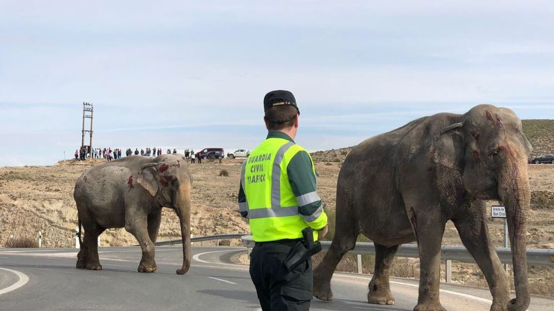 Elephants loose on Spanish motorway after circus lorry overturns
