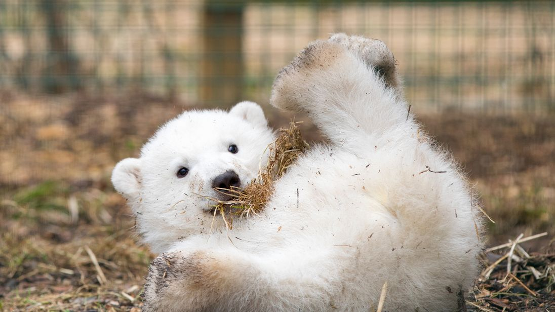 Hamish is the first polar bear born in the UK for 25 years. Pic: RZSS