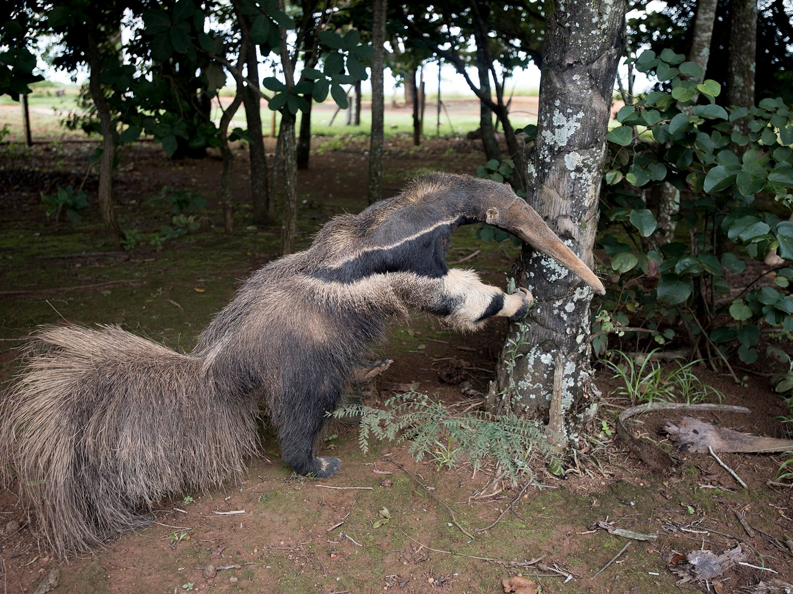 skynews-giant-anteater-taxidermy-anteate