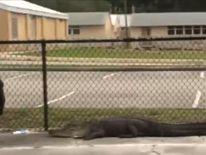 An alligator takes a stroll by a school gate in Florida