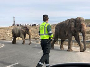 Elephants injured after the truck they were in travelling on a Spanish motorway overturned. Pic: Gregorio Serrano