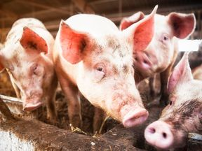 Pork imported from the US to China will  see a 25% tariff increase