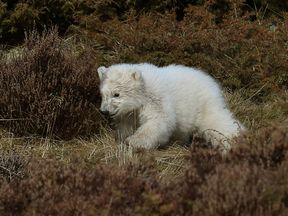 The first polar bear cub to be born in the UK for 25 years
