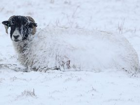 A sheep in a snow covered field in Northumberland