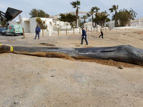 The whale weighed just seven tonnes. Pic: @EspNaturalesMur