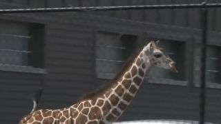 Workers at the Fort Wayne zoo needed a couple hours to get an escaped giraffe back into its enclosure.  The 7-month-old female giraffe got loose Monday (23 APRIL 2018) from the African Journey exhibit at the Fort Wayne Children's Zoo.