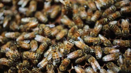 Honey bees are seen at the J & P Apiary and Gentzel's Bees, Honey and Pollination Company on April 10, 2013 in Homestead, Florida