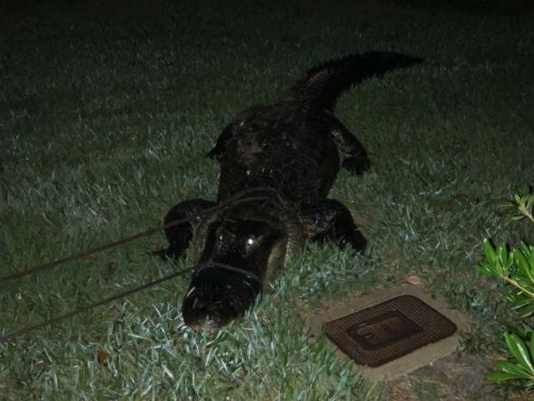 The alligator may have come from low water levels in lagoons