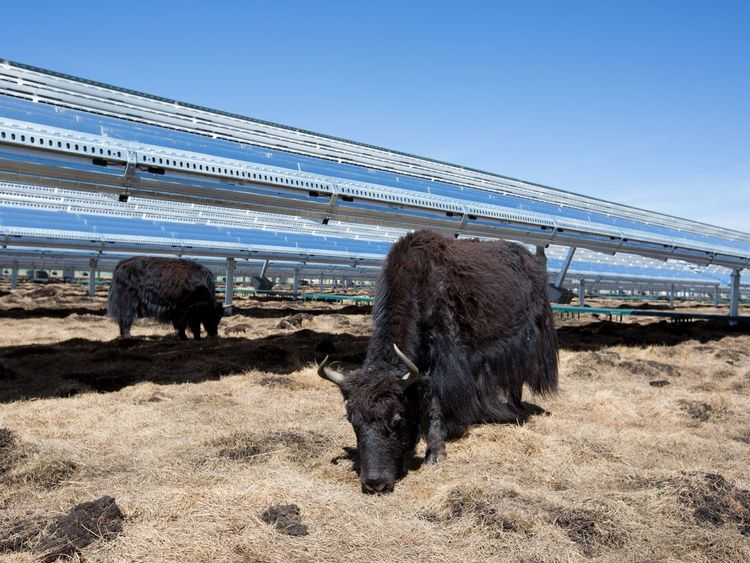 The sunlight absorbed by these solar panels in China helps provide the food for these yaks