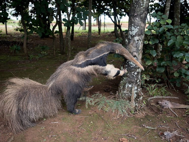 Anteater specimen - provided by an anonymous third party