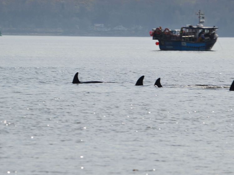 Four of the pod of six are seen swimming in the Clyde. Pic: Keith Hodgins
