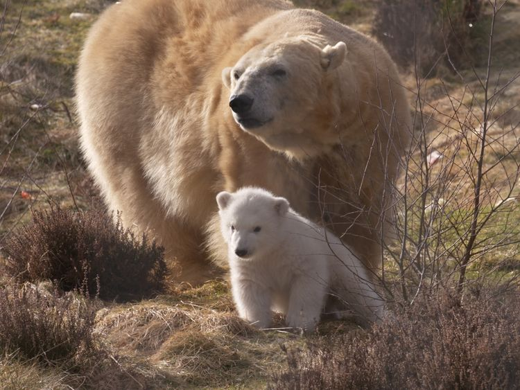Hamish was born in a special enclosure at the Highland Wildlife Park. Pic: RZSS