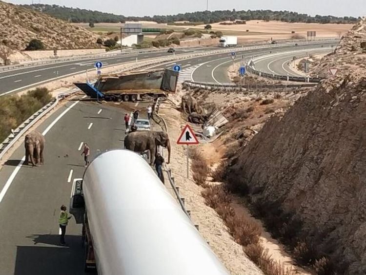 Elephants injured after the truck they were in travelling on a Spanish motorway overturned. Pic: Albacete Police