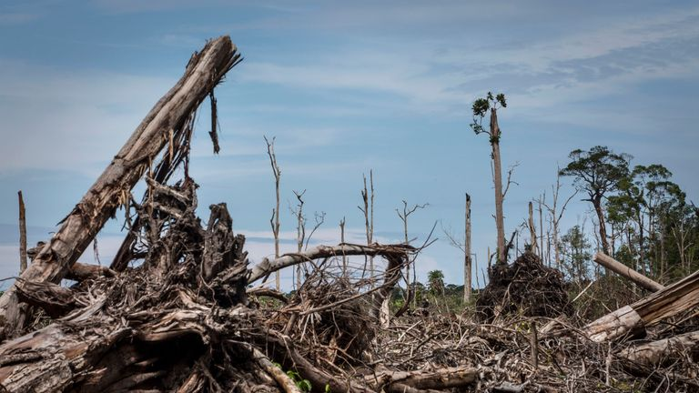 A forest cleared for palm oil plantation in Indonesia