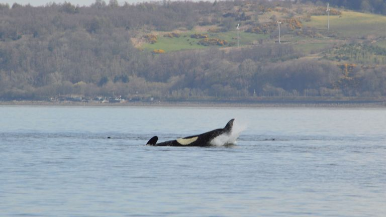 A killer whale goes back beneath the surface of the river. Pic: Keith Hodgins