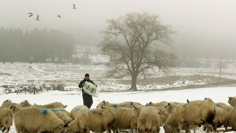 Farmer Peter Laidlaw from Craigannet Farm in the Carron Valley near Stirling feeds his livestock, following the recent severe weather