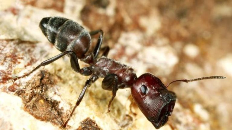 The 'doorkeeper' ant has a plug-shaped face to physically barricade the nest entrance.