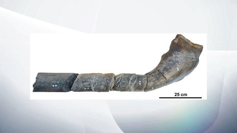 Giant ichthyosaur jawbone. Pic: Manchester University
