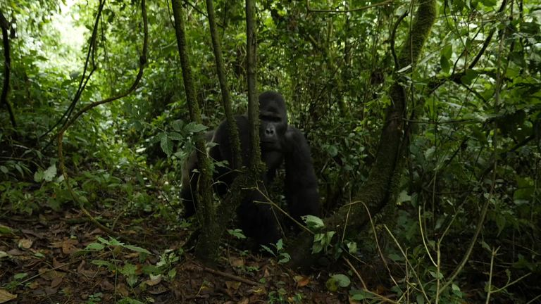 Without the rangers, the gorillas are prey to poachers or militia
