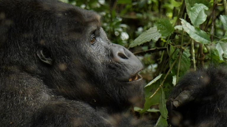It is estimated only a few thousand of the Grauer's gorilla exist in the wild