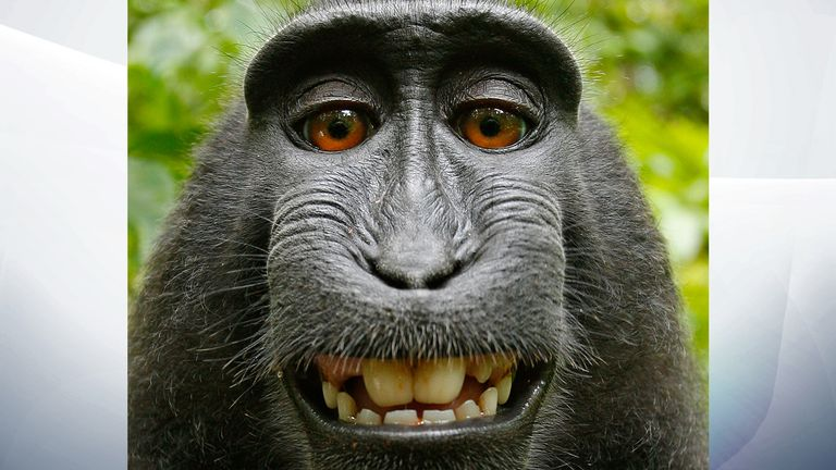 Crested Black Macaque selfie. Pic: David Slater / Caters News