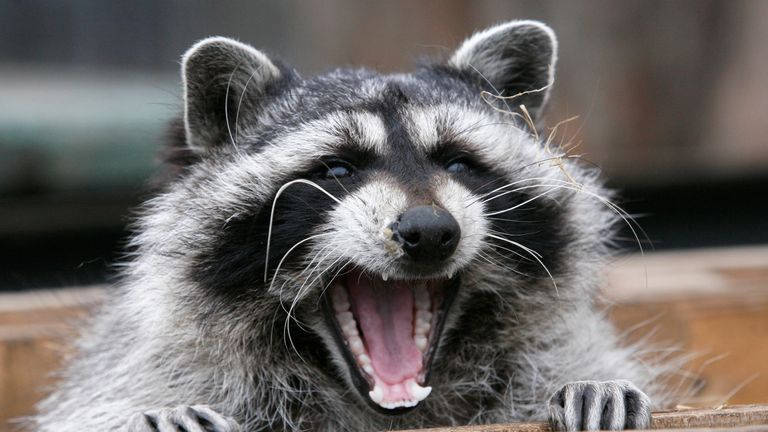 Raccoons are usually nocturnal but have been seen acting strangely during the day